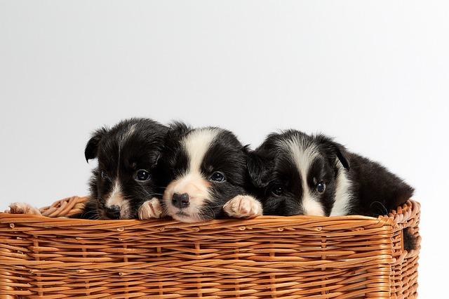ceste per cani, cestino per cani.