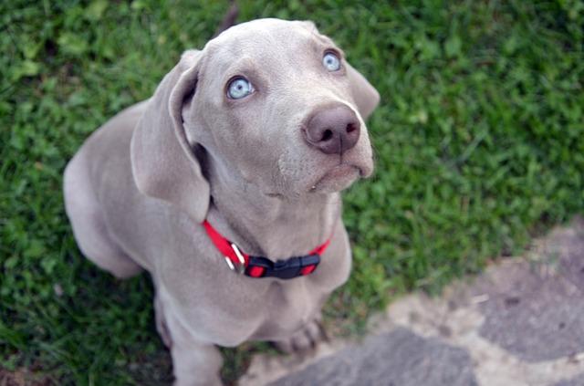 cucciolo di bracco, aspettando la cuccia, la casetta.