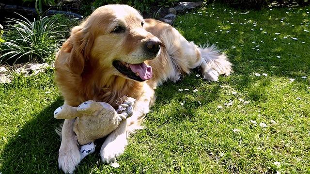 golden retriever, nel giardino, cane con il giocattolo.