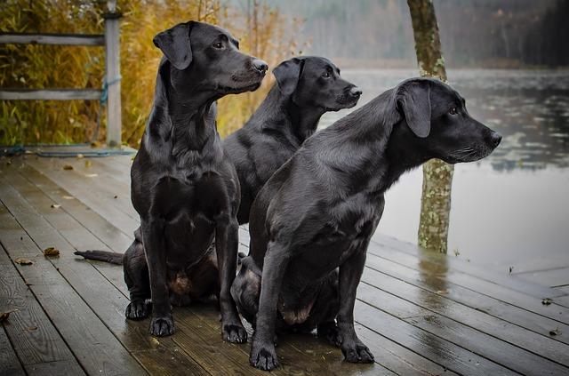 al riparo della pioggia, recinto coperto per il cane, labrador al riparo,