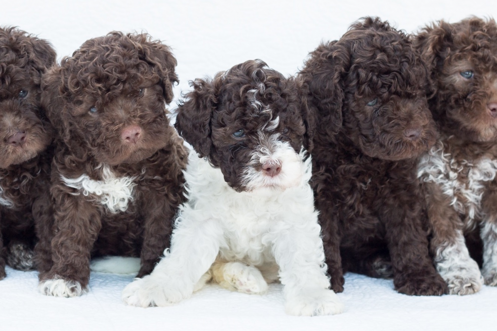 tosature lagotto romagnolo, tosatrice oster, tosatrice moser